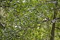 Betula pendula - City Park in Lučenec (3).jpg