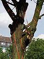 Bewässerungsschläuche an Baum bei Tiefbauarbeiten DSCF7666.jpg