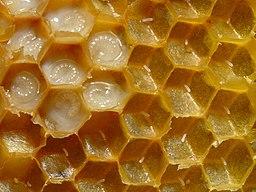 256px-Bienenwabe_mit_Eiern_und_Brut_5.jpg