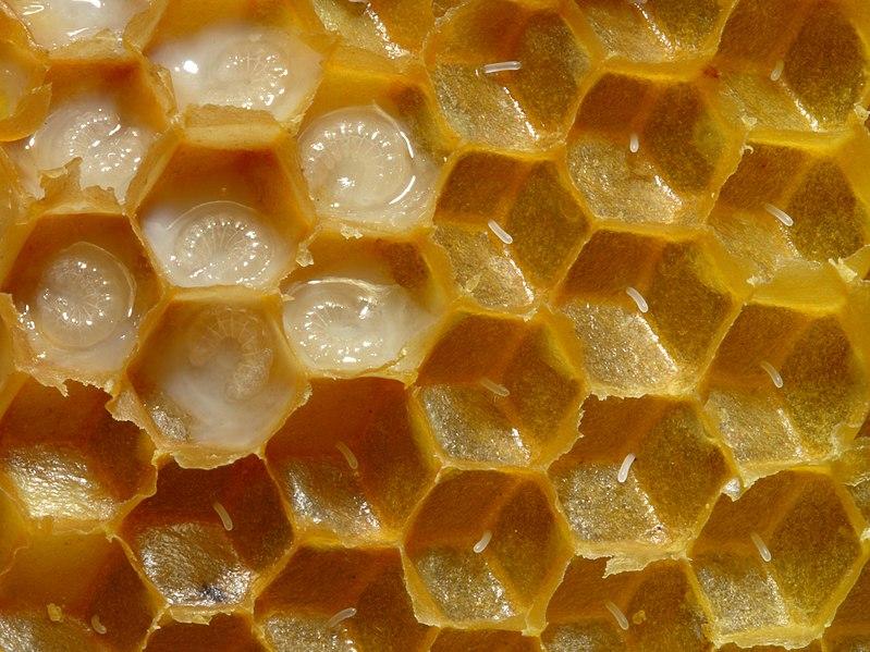 File:Bienenwabe mit Eiern und Brut 5.jpg