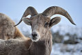 Big Horn Sheep, Jack Barrie (6501980891).jpg