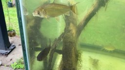 Bigmouth buffalo young feeding on plankton. Juvenile bigmouth buffalo are preyed on by predatory fish, such as walleye,[15] northern pike[16] and catfish.[17]