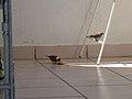 Birds of Barbados 004.jpg