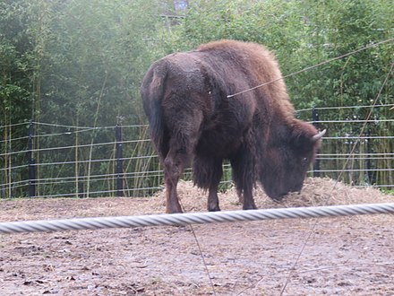 large bison facing right with head lowered