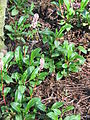 Bistorta affinis01.jpg