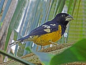 Black-backed Grosbeak RWD2.jpg