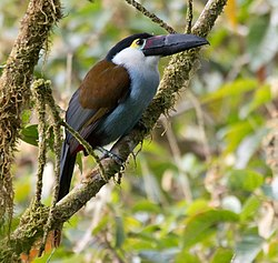 Black-billed-Mountain-Toucan.jpg