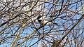 Black-capped Chickadee, Hawrelak Park, Canada.jpg