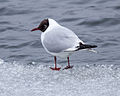 Black-headed Gull Chroicocephalus ridibundus, Vaxholm, Sweden 1.jpg