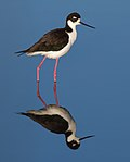 Black-necked Stilt (Himantopus mexicanus), Corte Madera.jpg