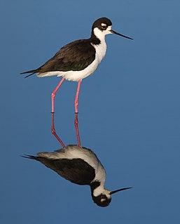 Black-necked stilt Species of bird