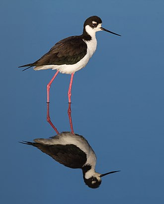 Black-necked stilt - Adult near Corte Madera, California