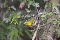 Black-throated Green Warbler (6842678302).jpg