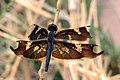 Black-winged skylight flutterer dragonfly Rhyothemis fenestrina.jpg