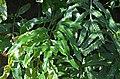 Black Caterpillar Fern Scyphularia pentaphylla Leaves.JPG
