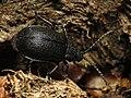 Black Leaf Beetle (15744734316).jpg