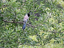 Black headed Jay I IMG 3197.jpg