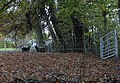 Black sheep in the woodland - geograph.org.uk - 609753.jpg