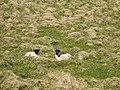 Blackface Lambs - geograph.org.uk - 203712.jpg