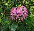 Bloem van Rododendron. Locatie, Tuinen Mien Ruys.jpg