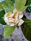 Blooming stages of gardenia flower 05.jpg