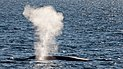 Blow of a blue whale in the Arctic sea.jpg