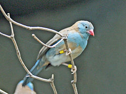 Blue-capped Cordon-bleu SMTC2.jpg