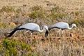 Blue Cranes (Anthropoides paradiseus) couple (33012647455).jpg