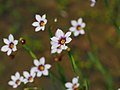 Blue Eyed Grass ニワゼキショウ And Other Flowers (258019639).jpeg