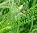 Blue Featherleg or White-legged Damselfly. Platycnemis pennipes. - Flickr - gailhampshire (2).jpg