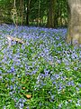 Bluebells in Parkhill Inclosure - panoramio.jpg