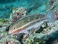 Bluepatch parrotfish (Scarus forsteni) (46727237665).jpg