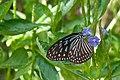 Bluish-white striped butterfly (5466418604).jpg