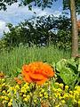 Blume im Garten.JPG