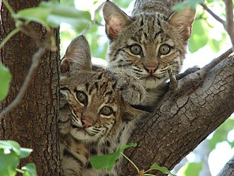 Rufus the Bobcat - Bobcats are strictly wild animals. These 2–4  month old kittens live out of a tree like many bobcat babies.  Rufus has helped efforts to prevent hunting and endangerment.