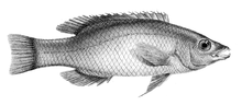 Bodianus sp Day.png