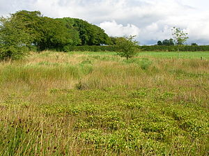 Menyanthes - A bog-bean dominated habitat in Ayrshire, Scotland