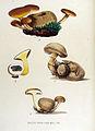 Boletus parasiticus — Flora Batava — Volume v15.jpg