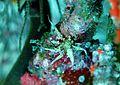 Boloceroides sp. Maldives.JPG