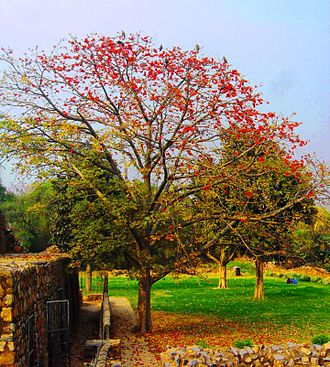 Bombax ceiba - A cotton tree seen here at Delhi with flowers which bloom from February to April