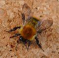 Bombus pascuorum - Flickr - gailhampshire (6).jpg