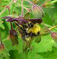 Bombus pratorum - Flickr - gailhampshire (3).jpg