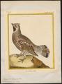 Bonasa betulina - 1700-1880 - Print - Iconographia Zoologica - Special Collections University of Amsterdam - UBA01 IZ17100375.tif