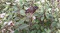Borboleta de coloração Escura,encontrado sobre a flor na região de Mata Cipó, derivação de Mata Atlântica -Ba.jpg