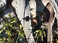 Bordeira - carpenter bee (13468952803).jpg