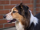 Border-Collie-tri-colour-face-1.jpg
