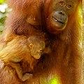Bornean orangutan (Pongo pygmaeus), Tanjung Putting National Park 12.jpg