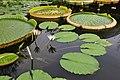 Botanischer Garten der Universität Zürich - Nymphaea 2010-09-16 15-55-38.JPG