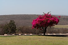 Bougainvillea, Sanchi, Madhya Pradesh, India.jpg