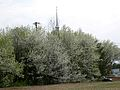 Bradford Pear (Pyrus calleryana 'Bradford') outside of Knoxville, Tennessee - Flickr - Jay Sturner.jpg